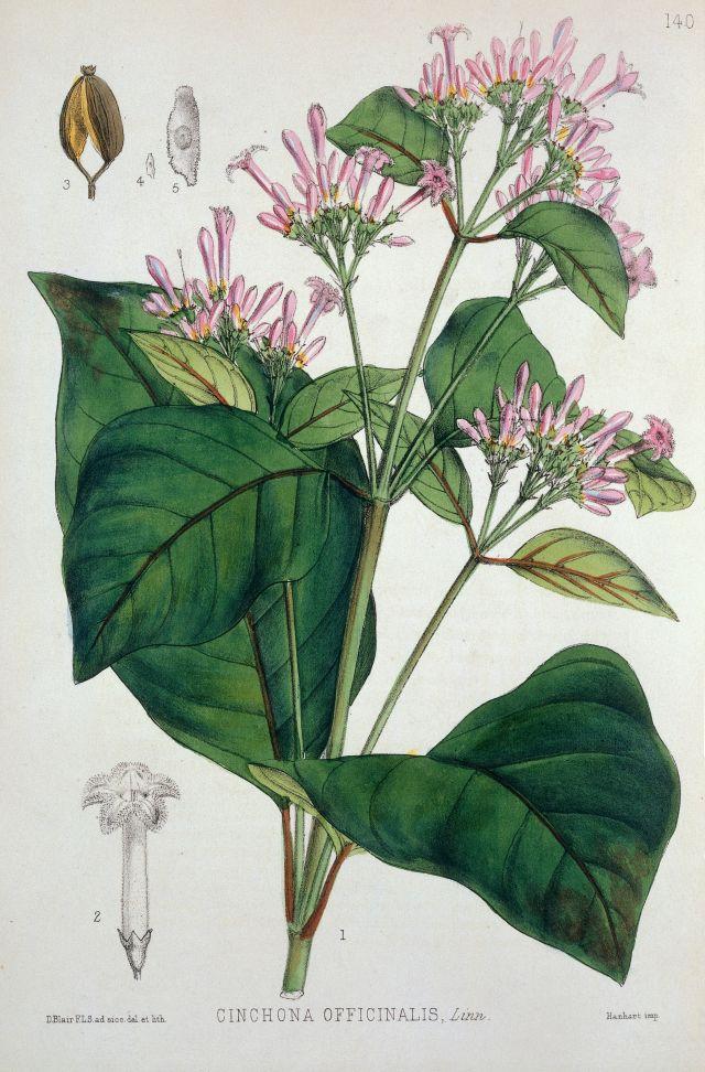 Quinquina Linné cinchona-officinalis