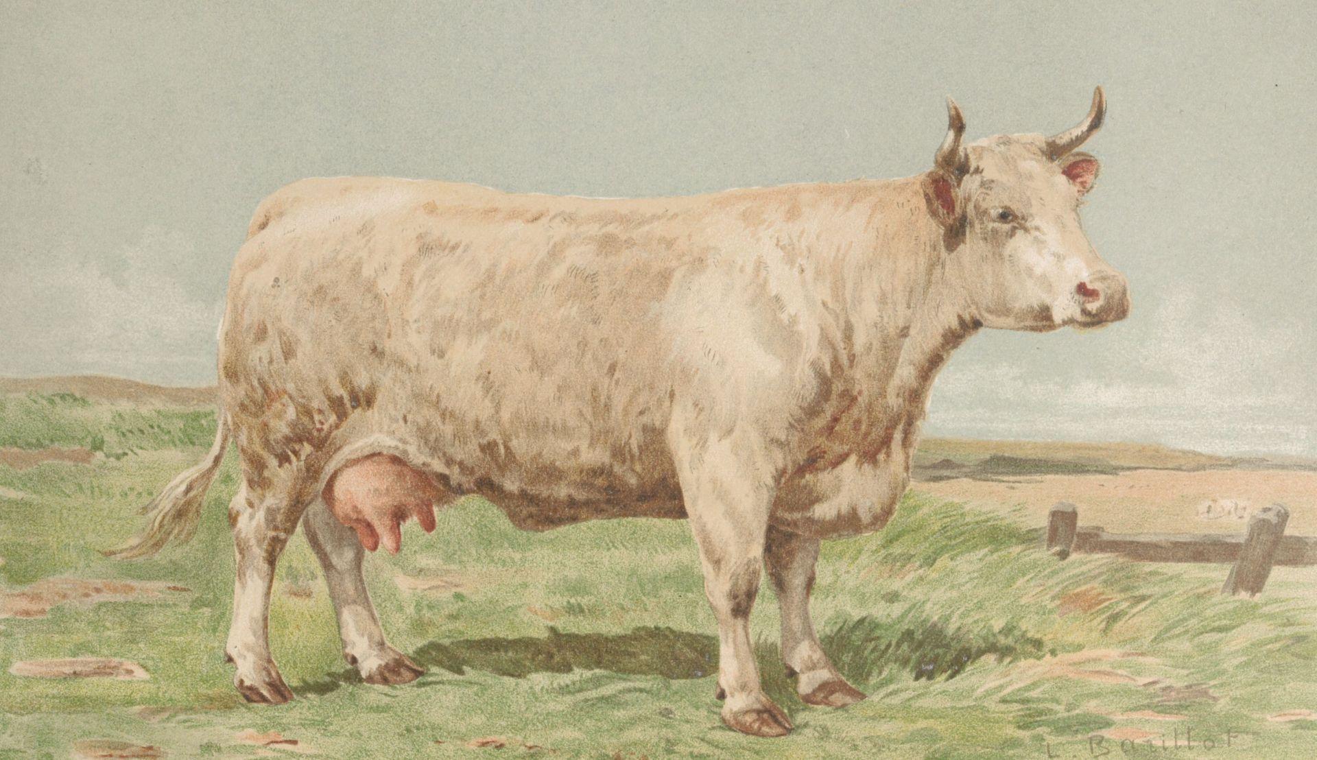 Vache charolaise-nivernaise